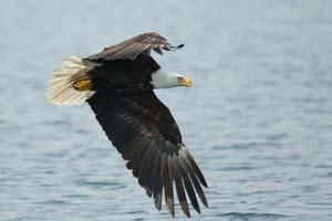 Eagle in flight over water